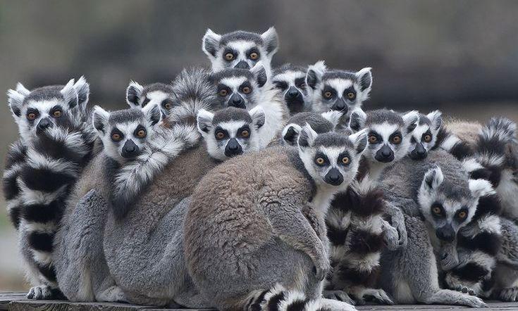 Lemur catta Huddle